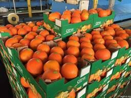 Валенсия - Апельсин из Египта / растаможенный апельсин - фото 2
