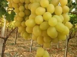 Виноград Египет - фото 2