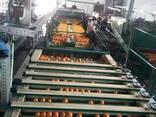Апельсин Навель - фото 4