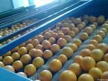 Апельсин Навель - фото 3