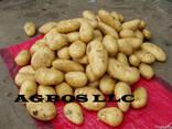 Картофель из Египта - фото 5