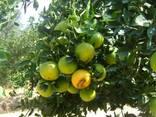 Лимон Lime и Лимон Verna, прямые поставки из Египта - фото 1