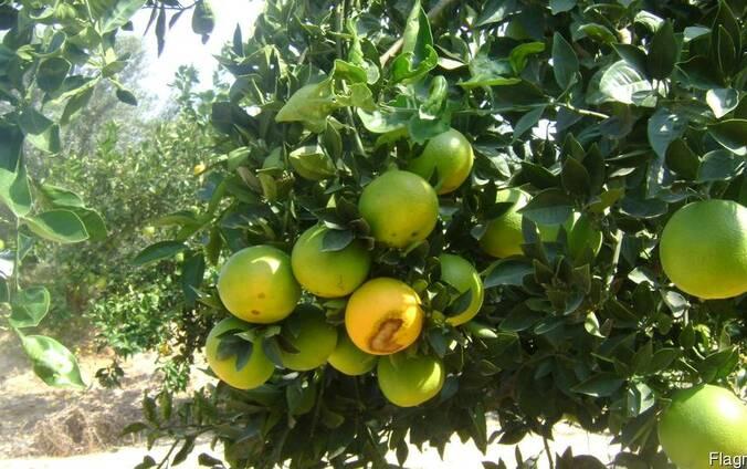 Лимон Lime и Лимон Verna, прямые поставки из Египта