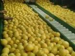 Лимон Lime и Лимон Verna, прямые поставки из Египта - фото 2
