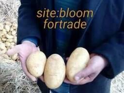 Молодой картофель урожая 2018, из Египта