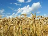 Продаем пшеницу - фото 1