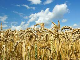 Продаем пшеницу