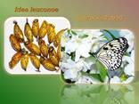 Продажа куколок тропических бабочек, коконы бабочек, ферма - photo 5