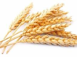 Пшеница 2,3 класс