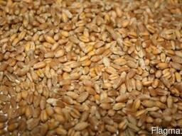 Пшеница 2-кл
