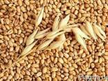Пшеница, ячмень, кукуруза - photo 1