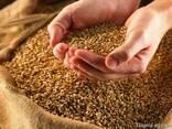 Wheat from Ukraine - фото 1
