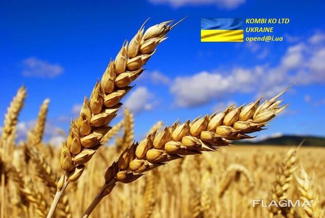 Wheat Пщеница