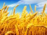 Экспорт, Зерно , пшеница, ячмень , кукуруза , фуражное, мука - фото 1