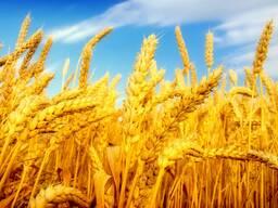 Экспорт, Зерно , пшеница, ячмень , кукуруза , фуражное, мука